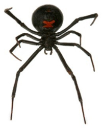 Black Widow Pest Removal