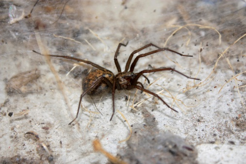 hobo spider pest removal