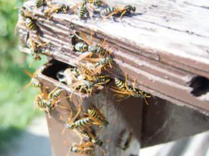Yellow Jackets, Hornets, and Wasps Pest Control